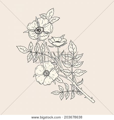 Elegant drawing of dog rose flowers with stem and leaves. Beautiful wild flowering plant hand drawn with contour lines. Blooming shrub, botanical decorative element. Natural vector illustration