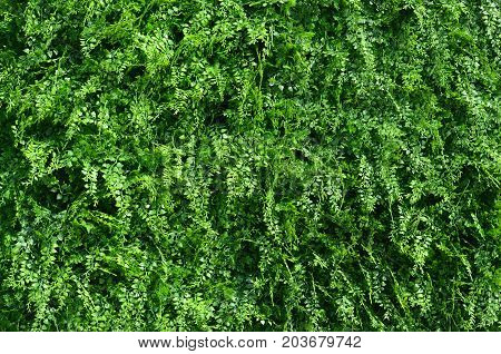 beautiful green grass as a background or texture