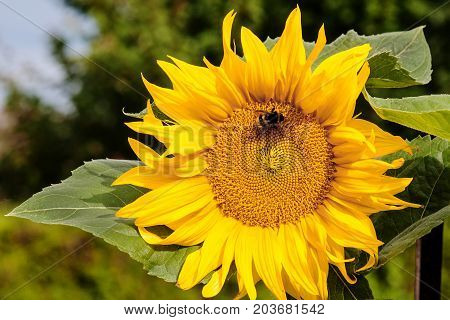 Bumble bee extracting nectar out of sunflower pistil