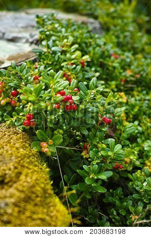 Red Ripe Hilberry, Cranberry In The Forest