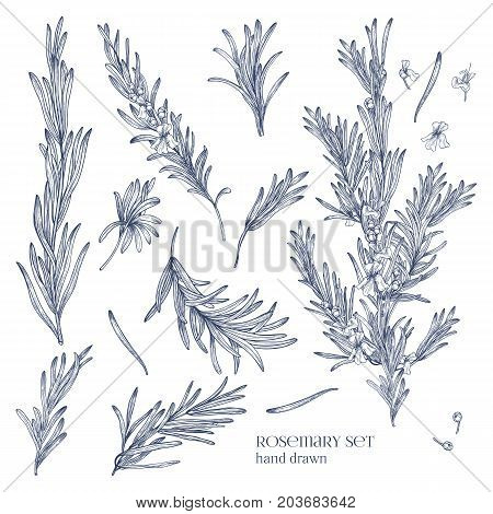 Collection of monochrome drawings of rosemary plants with flowers isolated on white background. Fragrant herb hand drawn in retro style. View from different angles. Botanical vector illustration