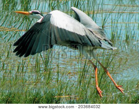 The herons are the long-legged freshwater and coastal birds in the family Ardeidae, With 64 recognized species