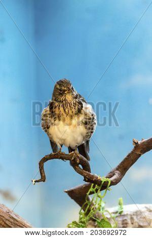 Birds of prey - Common buzzard Buteo buteo at summer time