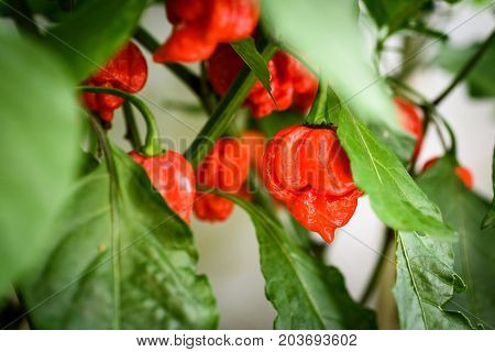 Red Hot Chilli Pepper Trinidad Scorpion On A Plant.