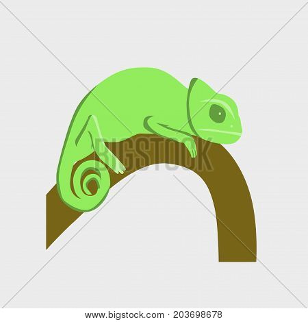 Vector illustration in flat style chameleon fauna
