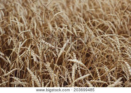 Ears Of Ripe Wheat Growing In A Wheat Field
