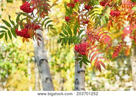 Autumn bright landscape with branches of red rowan