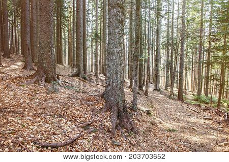 Dense woodland of coniferous forest in bright light. Forestry timber and lumber industry ecology natural environment and biomass concept with copy space.