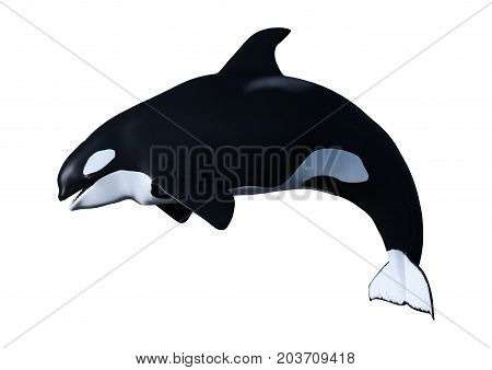 3D Rendering Orca Killer Whale Calf On White