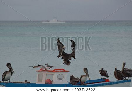 Pelican with wings extended landing on a wooden fishing boat in Aruba.