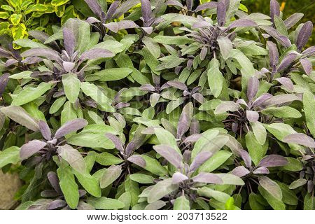 Herbs Used In The Kitchen: Sage (salvia Officinalis Purpurascens)