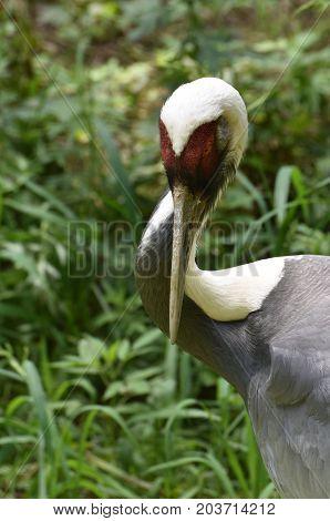 Wild white naped crane striking a pose in a marsh.