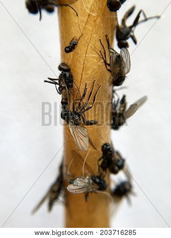 Dead flies on a flycatcher in closeup