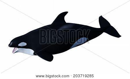 3D Rendering Orca Killer Whale Calf On White