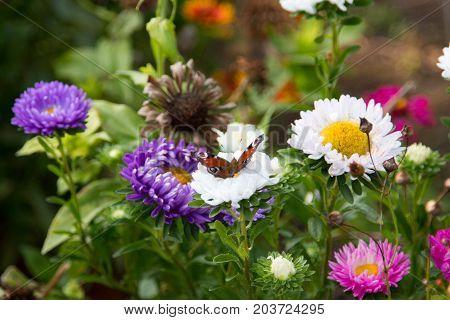 butterfly on a daisy in flowers on a meadow