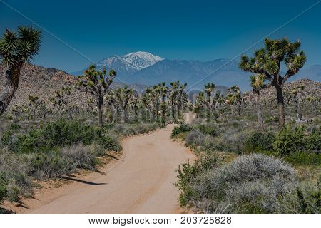 Snow Capped Mountains Loom Behind Joshua Tree Field