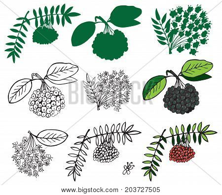 illustration on a white background and silhouette of black and red ashberry