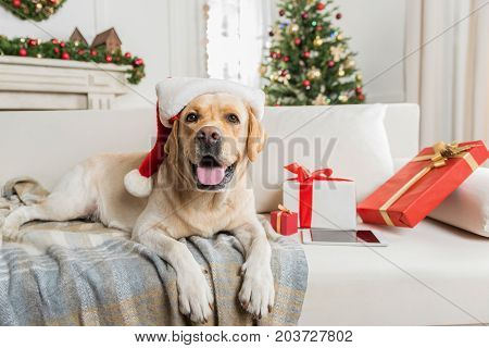 Four legged Santa. Cute big dog is lying on sofa among Christmas presents. Decorated tree is on background. Copy space on the right side