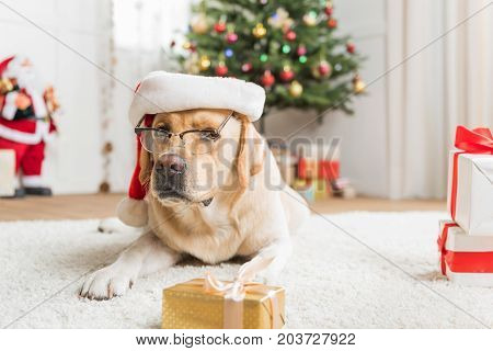 So smart. Lovely Labrador is lying on white carpet wearing glasses and red hat among Christmas boxes. Decorated tree with Santa Claus are on background. Copy space on the right side