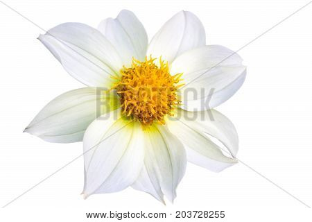 Beautiful white dahlia flower. White flower on white background