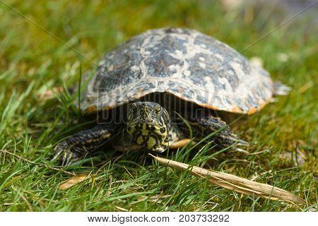Turtle. The yellow-bellied slider (Trachemys scripta scripta).