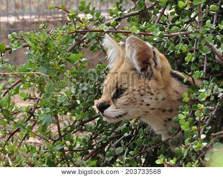 Attentive serval looking from under the bushes
