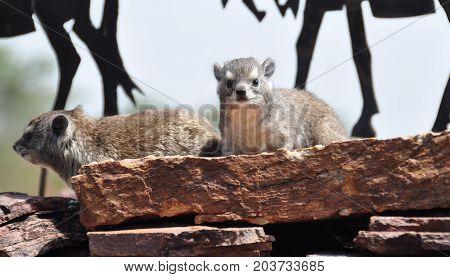 A rock hyrax sitting in the sun
