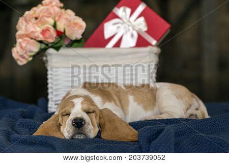 Pretty And Gently Basset Hound Puppy