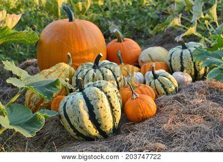 Autumn Squashes In The Garden