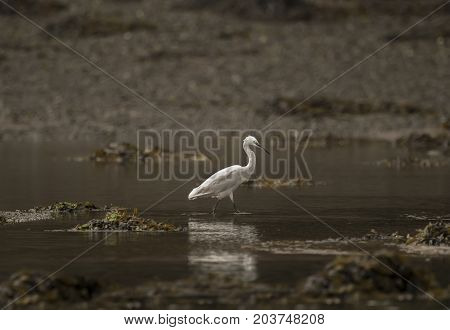 Little Egret In An Estuary, By A Sandbank