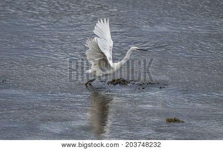 Little Egret flying from an estuary in Summer time