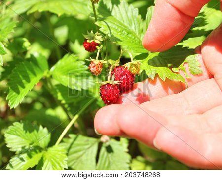 Picking Up Wild Strawberries