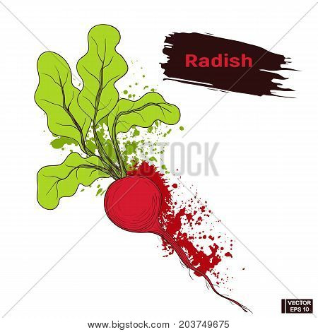 Vegetable Sketch Hand Drawing Radish