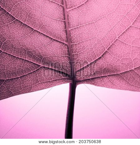 A detail photo of a purple glowing leaf