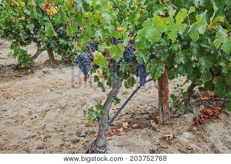 Ripe Red Wine Grape Ready To Harvest, Sandy Vineyard In Camargue, Languedoc, France