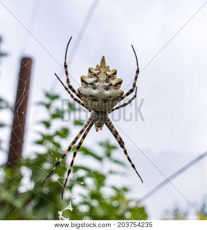 The spider species Argiope aurantia is commonly known as the yellow garden spider writing spider corn spider.