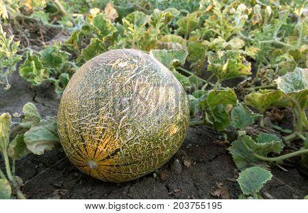 Melon garden splashy delicious aromatic close-up in the garden