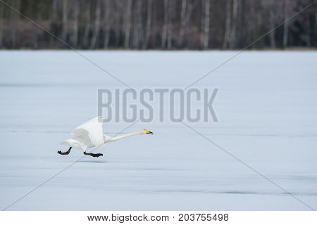 Single swan bird running on ice in winter landscape