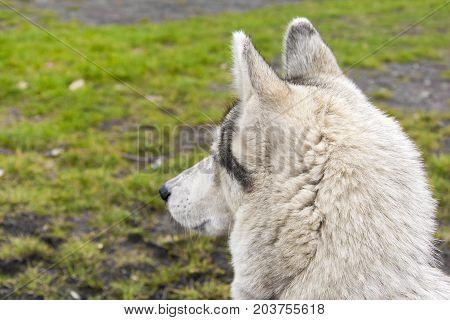 Siberian Husky Lurking On Their Prey