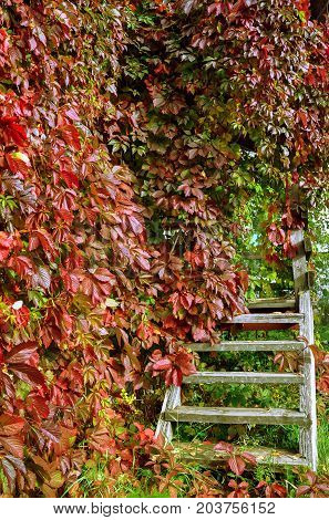 Vintage pergola with stairs twined with wild grapes