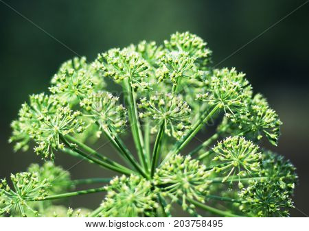 Angelica plan. Close-up .Shallow Shallow depth of