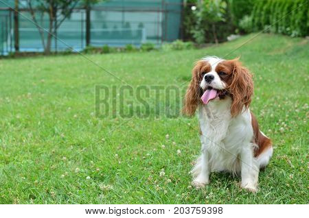 Cavalier King Charles Spaniel On A Lawn