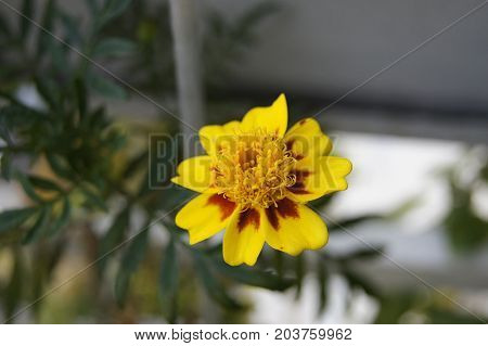 Tagetes patula Harlequin (french marigold Harlequin) on a blurred background.