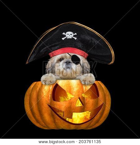 halloween pumpkin witch cute shitzu dog in pirate costume - isolated on black background
