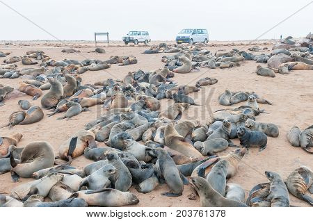 CAPE CROSS NAMIBIA - JUNE 29 2017: The seal colony at Cape Cross on the Skeleton Coast of Namibia