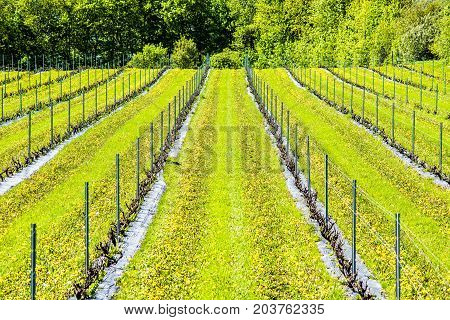 Vineyard With Rows Of Grape Plants And Yellow Dandelions Closeup With Hill Going Up With Support Ste