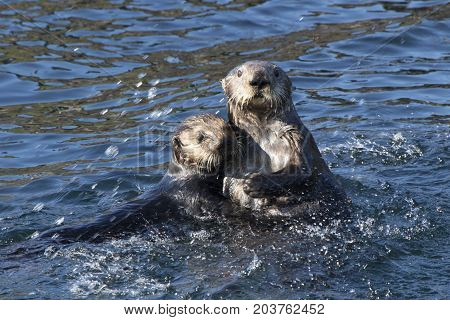 Two sea otters floating in the coastal waters off the island in the Pacific Ocean on a spring day