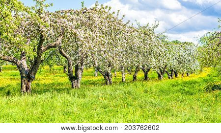 Apple Orchard Rows, Aisles With Many Blooming Trees With White And Pink Flowers Blossom During Summe