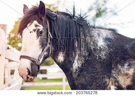 Closeup Of Black Horse Behind White Wooden Fence In Farm Field Dirt Paddock In Brown Soil Landscape