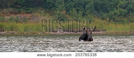Adult Shiras Bull Moose feeding on water grass in Fishercap Lake on the Swiftcurrent hiking trail in the Many Glacier region of Glacier National Park during the 2017 fall fires in Montana United States